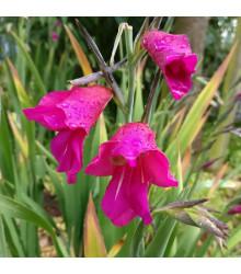 Gladiol obecný - Gladiolus byzantinus communis - cibuloviny - 3 ks