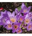 Ocún Naháček - Colchium giant - holandské cibuloviny - 1 ks cibuloviny -