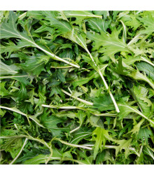 BIO rukola Roma - Eruca sativa - bio semena - 0,1 g