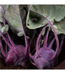 BIO kedluben Azur - Brassica oleracea L. - bio semena - 70 ks