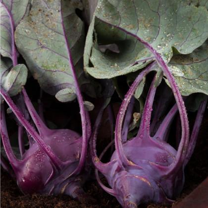 BIO kedluben Azur - Brassica oleracea L. - bio semena - 50 ks