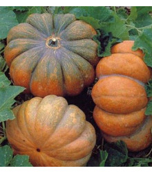 BIO Dýně Muscat De Provence - Cucurbita moschata - bio semena - 5 ks
