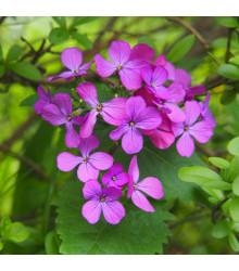 Měsíčnice roční Honesty - směs barev - Lunaria annua - semena - 1 g