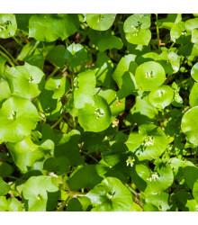 Portulák zimní - Batolka prorostlá - Claytonia perfoliata - semena - 0,05 gr