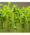 Řeřicha zahradní - Lepidium sativum - semena - 2,5 gr