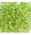 Řeřicha velkolistá - Lepidium sativum - semena - 1,5 gr