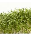 Řeřicha Dánská - Lepidium Sativum - Semena - 2,5 Gr