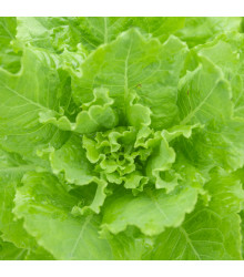 Salát hlávkový Ovation - Lactuca sativa - semena - 0,5 g