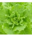Salát hlávkový Ovation - Lactuca sativa - semena - 0,5 gr