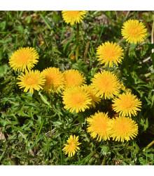Smetánka lékařská - Taraxacum offiicinalis - semena - 0,3 gr