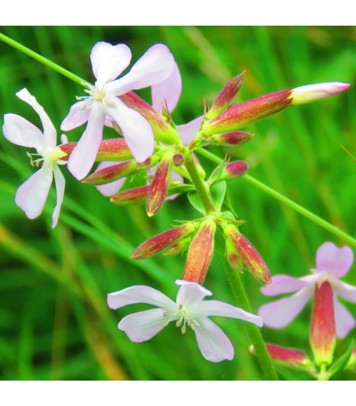 Mydlice lékařská - Saponaria officinalis - semena - 15 ks