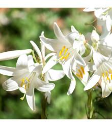 Bělostná lilie - Lilium candidum - cibuloviny - 1 ks