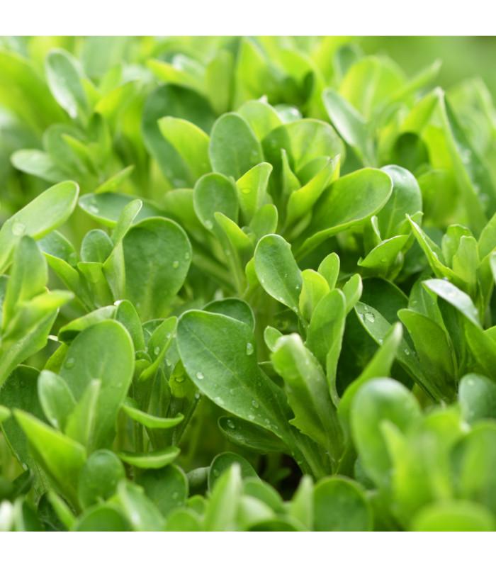 Kozlíček polníček Verte de Cambrai - Vallerianella locusta - semena - 50 ks