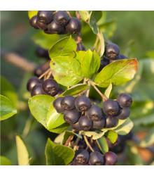 Černý jeřáb - Aronia arbutifolia - semena - 7 ks