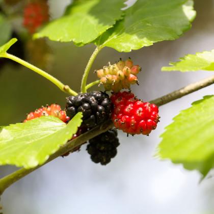 Morušovník černý - Morus nigra - prodej semínek- 5 ks