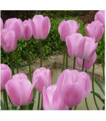 Tulipán Pink Diamond - cibule tulipánů - 3 ks