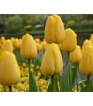 Cibulky tulipánů koupit - Golden Parade - 3 ks