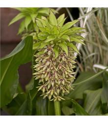 Chocholatice - Eucomis bicolor - cibuloviny - 1 ks