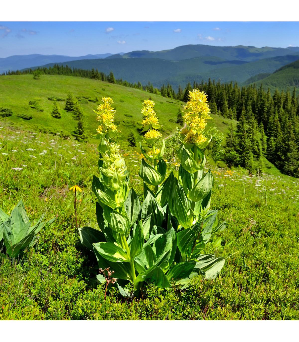 Hořec žlutý - Gentiana lutea - semena hořce - 8 ks