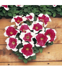 Petúnie mnohokvětá Red Frost F1- Petunia multiflora - semena - 20 ks