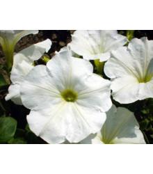 Petúnie bílá nízká Snowball - Petunia nana compacta - semena - 20 ks