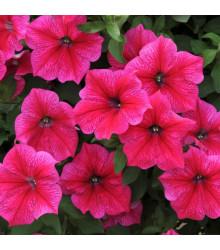 Petúnie Rose of Heavens - Petunia nana compacta - semena - 20 ks