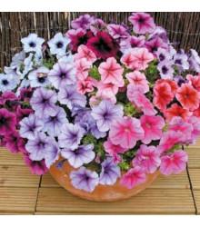 Petúnie Superbissima směs - Petunia nana compacta - semena - 20 ks