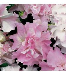 Petúnie Pirouette F1 - Orchid Mist - Petunia grandiflora - semena - 20 ks
