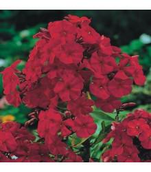 Plaménka červená - Phlox - prostokořenné sazenice - 1 ks