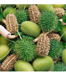Okrasná okurka - Cucumis insignis - semena - 6 ks