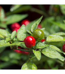 More about Chilli Tepin – Capsicum annuum – semena chilli – 7 ks