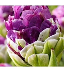 Tulipán Exquisit - Tulipa - cibuloviny - 3 ks