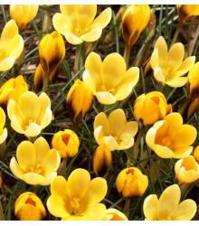 Krokus Goldilocks - Crocus chrysanthus - cibuloviny - 3 ks