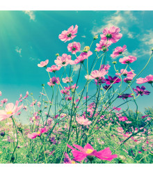 Letničky směs - Zahradní sen v růžovém - semena - 0,9 g