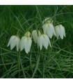 Řebčík bílý - Fritillaria meleagris - cibuloviny - 3 ks