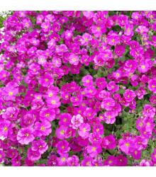 Tařička zahradní červená - Aubrieta hybrida - semena - 200 ks