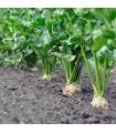 Celer bulvový Monarch - bio semena celeru bulvového - 20 ks