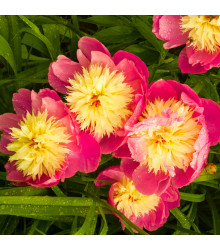 Pivoňka Bowl of Beauty - Paeonia lactiflora - cibuloviny - 1 ks