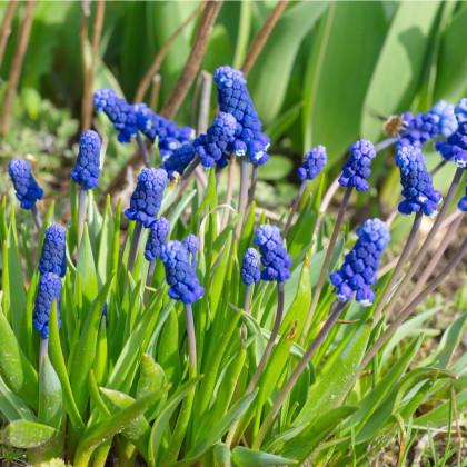 Modřenec širokolistý - Muscari latifolium - cibuloviny - 5 ks