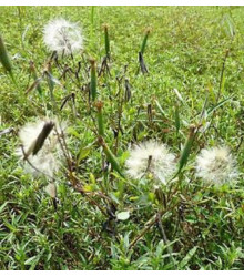 More about Koriandr bolívijský - Porophyllum ruderale - semena - 5 ks
