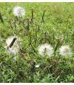 Koriandr bolívijský - Porophyllum ruderale - semena - 5 ks