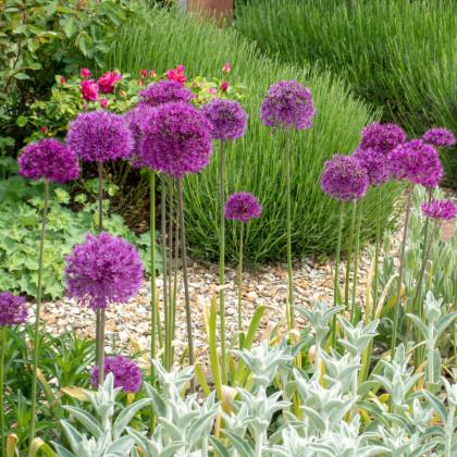Česnek okrasný - Allium Purple Sensation - cibuloviny - 3 ks