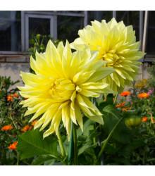 Jiřinka Kenemerland žlutá - Dahlia - cibuloviny - 1 ks