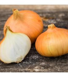 Cibule štutgartská žlutá - Allium cepa - semena - 1 g