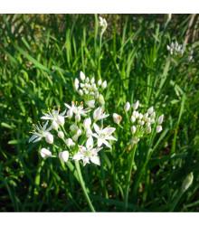 Pažitka čínská Neko - Allium tuberosum - semena - 20 ks