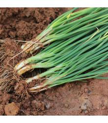 Cibule jarní bílá Bílý Lisabon - Allium cepa - semena - 1 g