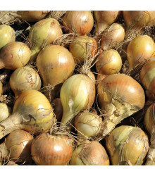 Cibule kuchyňská Sturon - Allium cepa - semena - 250 ks