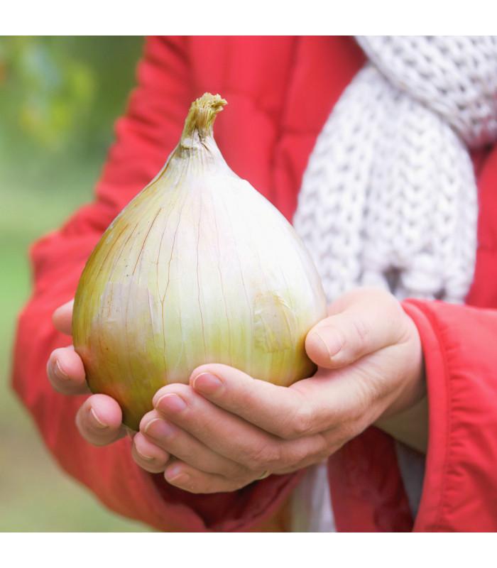 Cibule obrovská Kelsae - největší cibule světa - Allium cepa - semena - 0,4 g