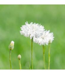 Chrpa luční bílá - Centaurea cyanus - semena - 45 ks