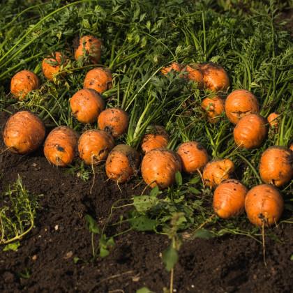 Mrkev kulatá k rychlení Pariser Markt - Daucus carota - semena - 900 ks